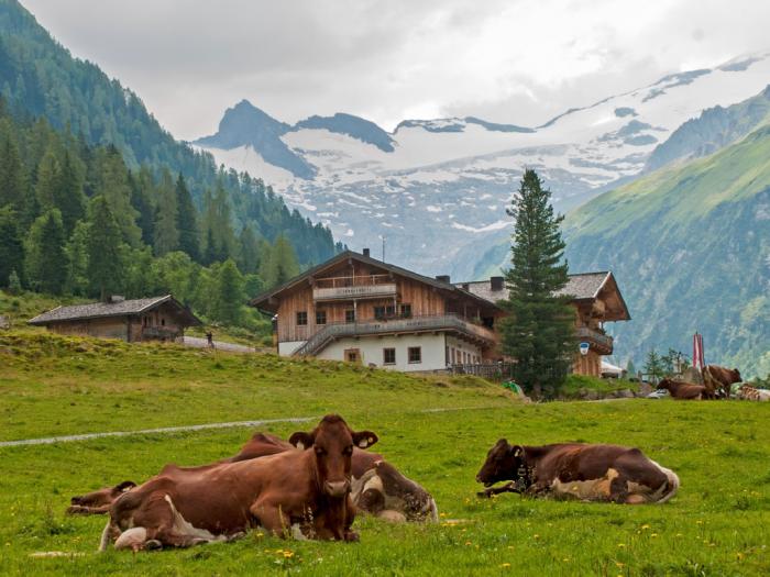 cows-on-field1x