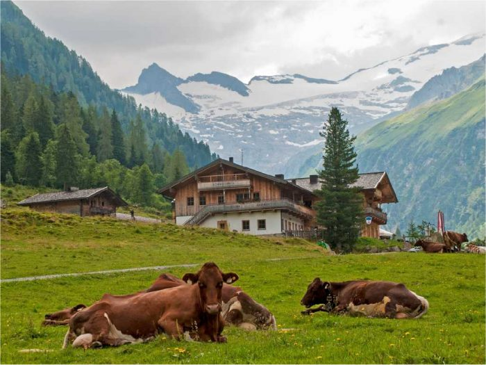 cows-on-field1x